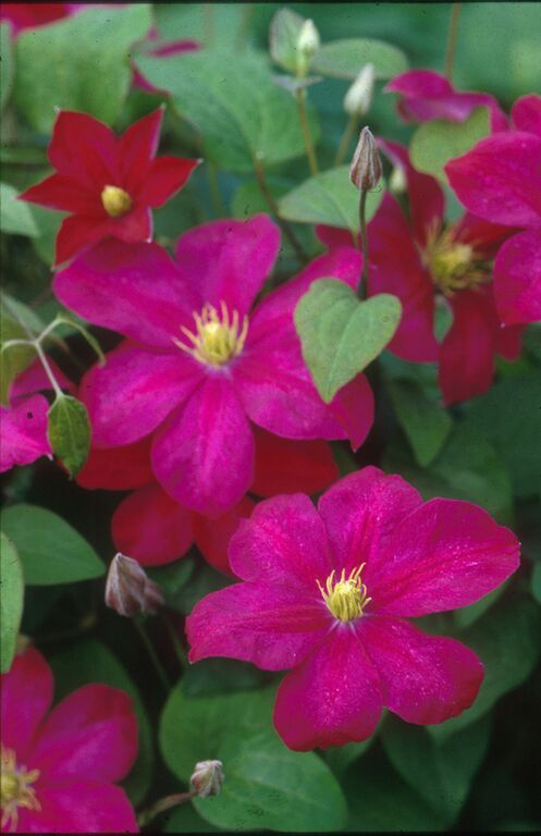 A deep velvet red clematis with cream anthers