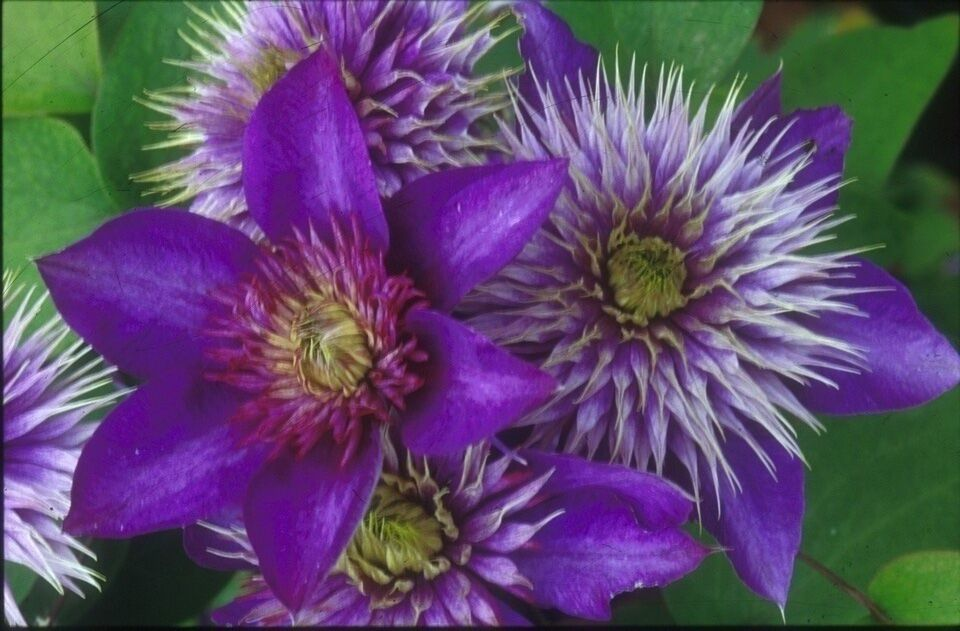 A double dark blue to purple clematis