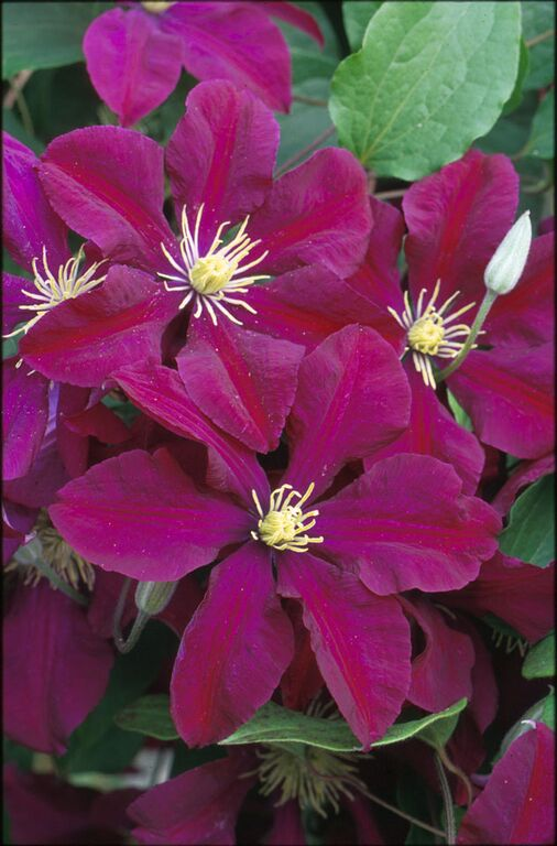 A dark magenta red clematis with gold anthers