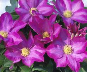 A deep rosy pink clematis