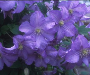 A mauve blue clematis with yellow anthers