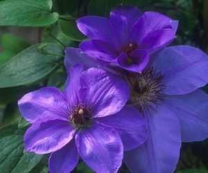 A lavender blue clematis with dark anthers