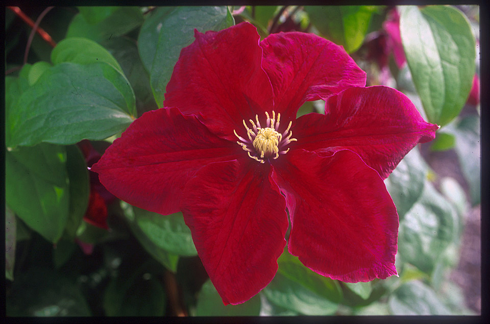 A reddish/purple clematis with yellow anthers