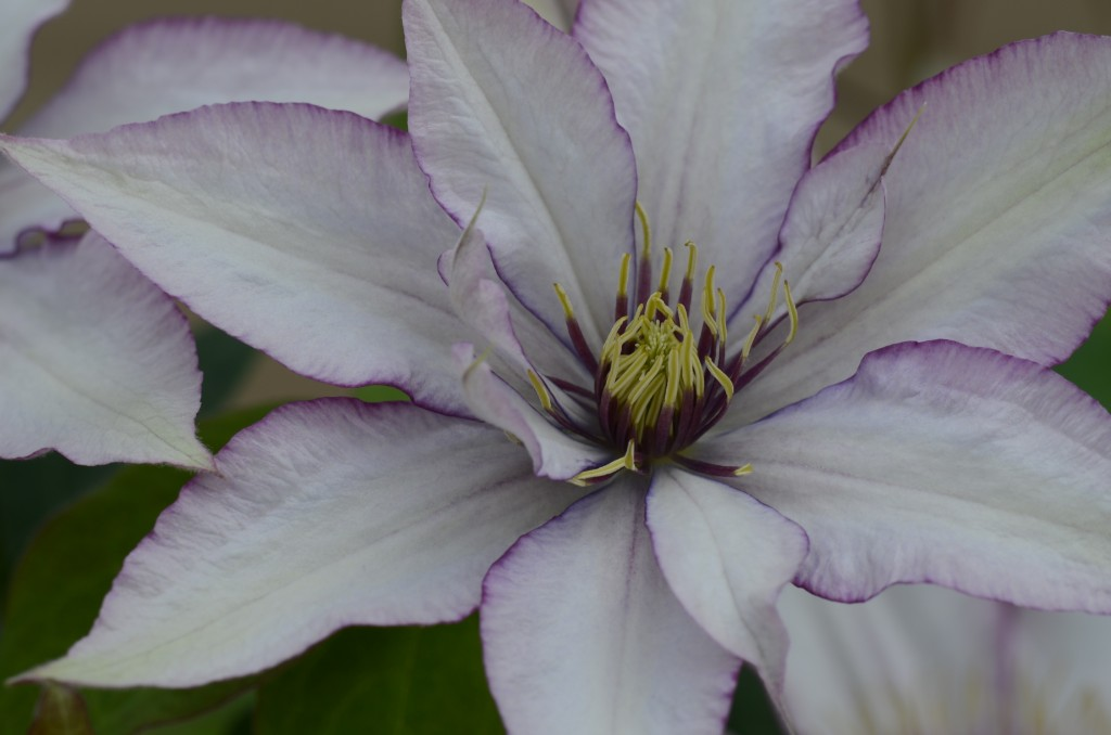 A silvery pink clematis edged in purple with anthers that are purple at the base and cream at the tips