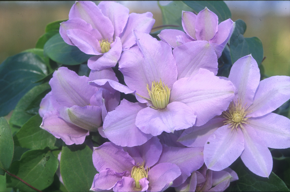 A silvery mauve clematis with creamy-white anthers