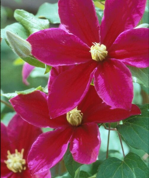 A dark velvet red clematis with purple edges