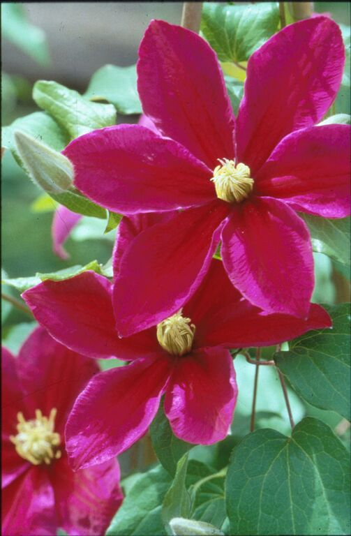 A dark velvet red clematis with purple edges