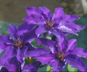 A deep purple clematis with purple anthers