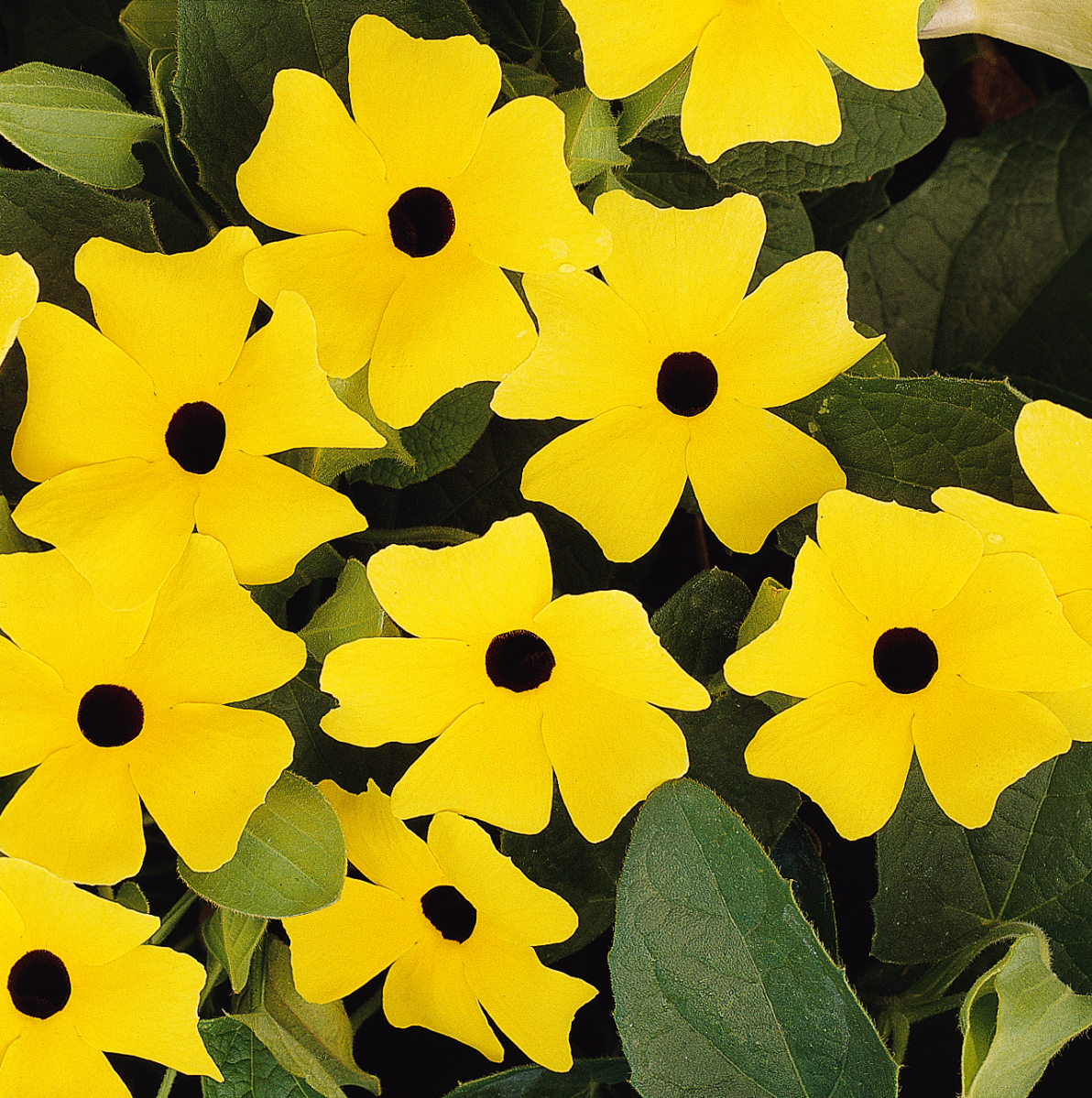 A yellow vine with a black center