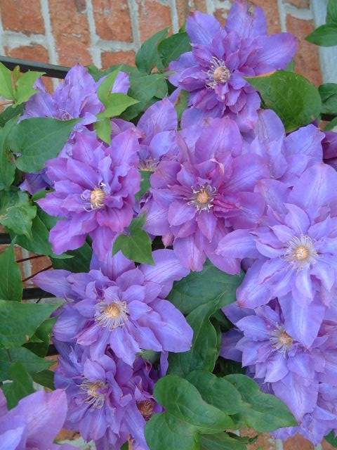 A double clematis with purple/mauve on the outside petals and lavender lilac on the inner petals