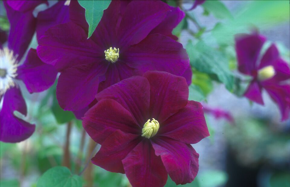 A rich velvet reddish purple clematis