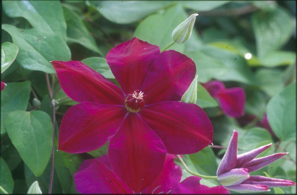 A rich velvety red clematis with dark red anthers